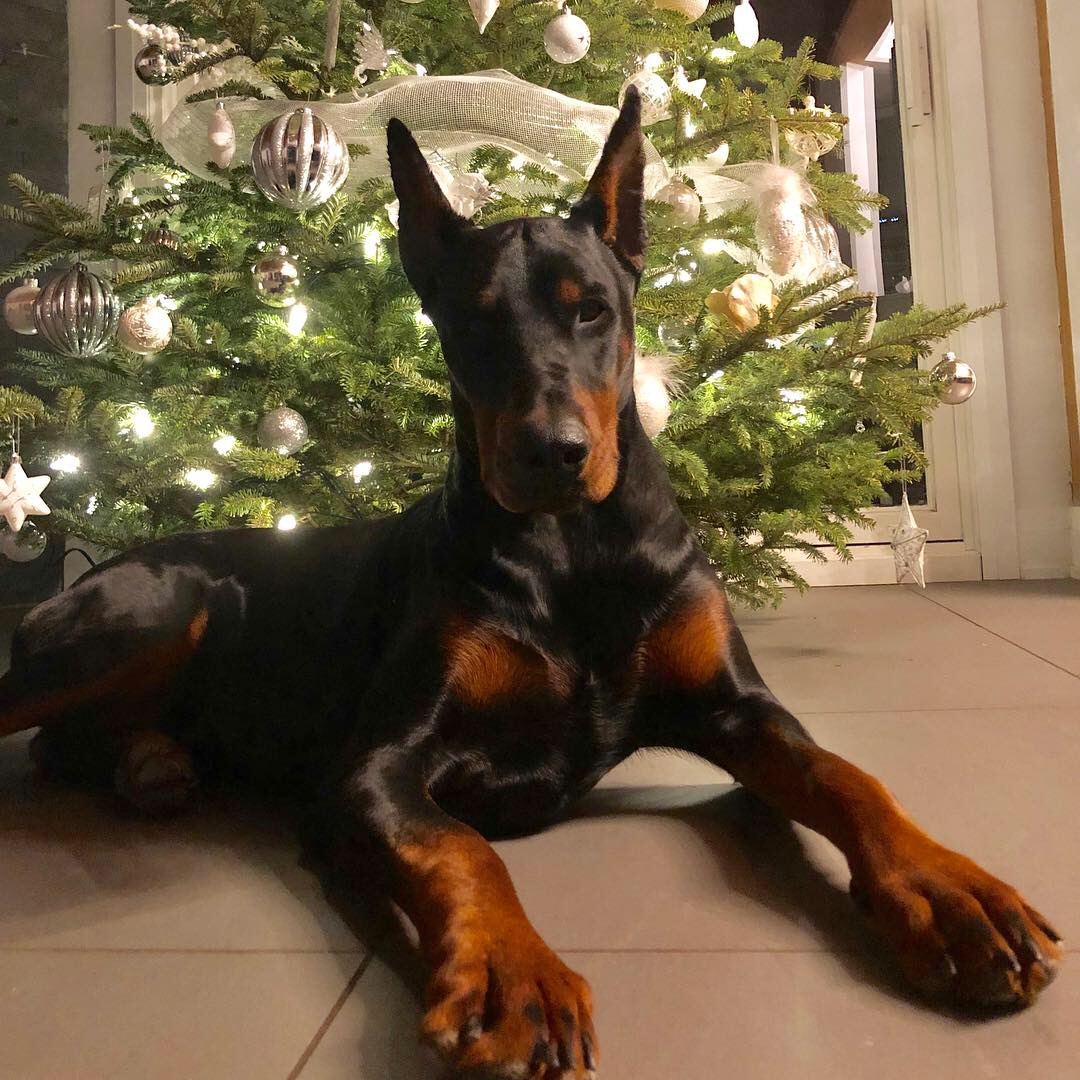 Dobermann Ultimatus We Breed Excellence